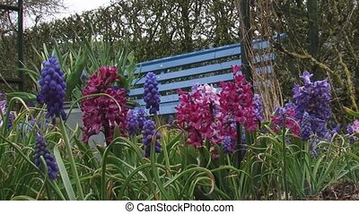 Hyacinths and Grape Hyaciths Muscari blooming in garden