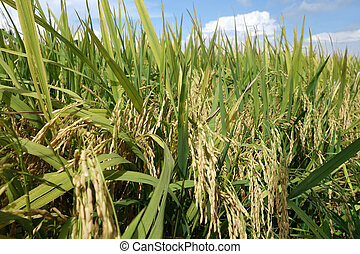 The ripe paddy field is ready for harvest - Ripe rice grains...