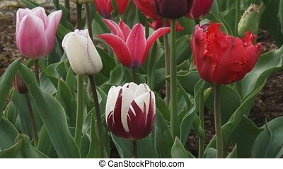 Tulips in flower bed