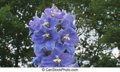 Delphinium Lady Guinevere blooming close up + pan -...