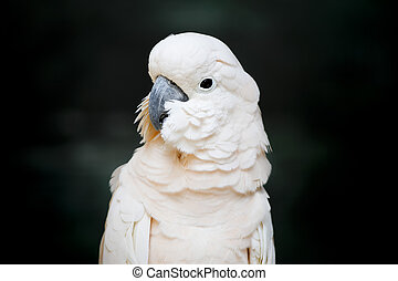 Portrait of a Moluccan Cockatoo (Cacatua moluccensis), or...
