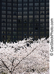 full blown Korean cherry blossoms in Seoul City
