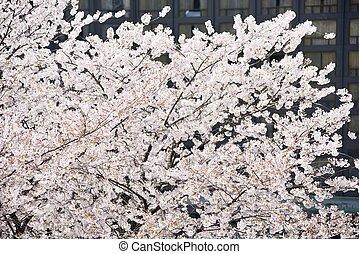 fresh Korean cherry blossoms in full bloom
