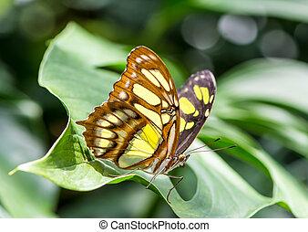 Siproeta Stelenes Butterfly - Tropical malachite butterfly...
