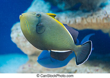 Melichthys indicus - Indian triggerfish - saltwater fish