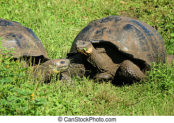 Free-living Galapagos giant tortoises on Santa Cruz Island,...