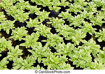 Young plants growing in a plant nursery