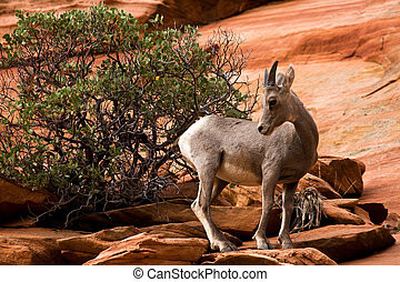 Young Big Horn Sheep On Red Rocks Zion National Park Utah