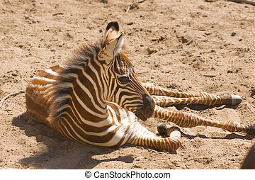 Baby Grant\'s Zebra - a young grant\'s zebra laying down