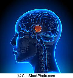 hipotálamo, -, hembra, cerebro, anatomía,