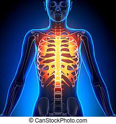 hembra, costilla, jaula, -, anatomía, huesos,