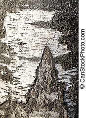 birch tree - Birch wood texture is photographed close up