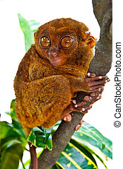 Funny-Looking Tarsier - Funny-Looking Big-Eyed Tarsier
