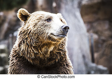 wild Predator, beautiful and furry brown bear, mammal