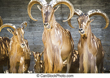 alpine, group of mountain goats, Family mammals with large...