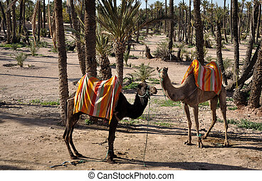 Camels waiting for tourists in Marrakech, Morocco