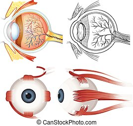 Anatomy of the eye - Anatomy of the human eye on a white...