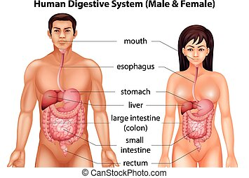 Human digestive system - Digestive system of humans