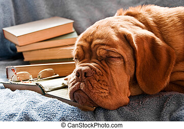 Dog Learning - Dog Fell Asleep in Pile of Books