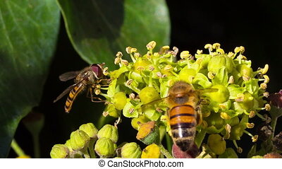 Marmalade hoverfly and bee