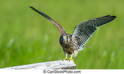 Leaving - The juvenile kestrel (Falco tinnunculus) prepare...