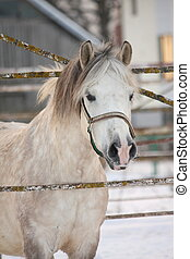 Beautiful shetland pony portrait in winter - Beautiful white...