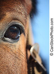 Chestnut horse eye close up - Beautiful chestnut horse eye...