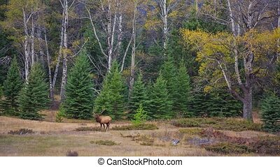 Deer on the lawn - Deer grazing on the lawnn, Jasper, Canada