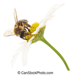 Honeybee and white flowers - Nature background Honeybee and...