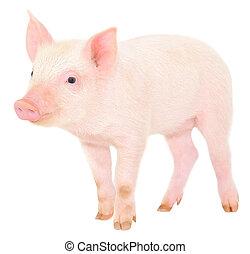 cerdo, en, blanco,
