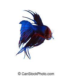 bonito, azul, Siamese, peixe, coroa, betta, luta, rabo,...