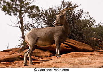 Big Horn Sheep Standing On Red Rocks Zion National Park Utah...