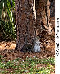 Upright Eastern Grey Squirrel