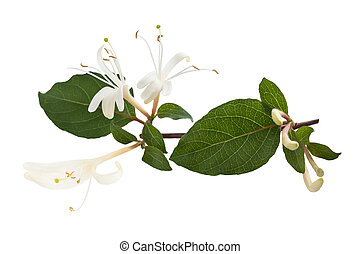 honeysuckle Sprig with white flowers and green leaves...