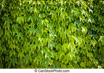 Green wall background of ivy, [Parthenocissus tricuspidata]...