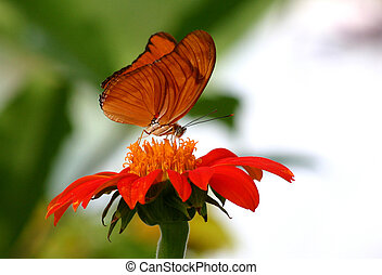 Orange butterfly on a red flower feeding during the morning...