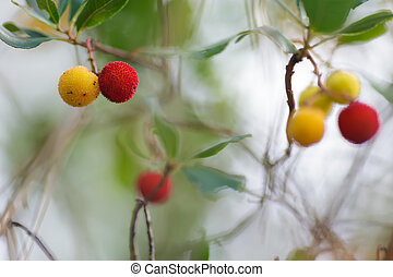 Arbutus unedo berries - Arbutus unedo yellow and red berries...