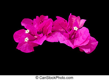 Hot pink bougainvillea flower garland isolated on black