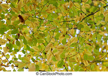 Hornbeam tree fall colors view from below