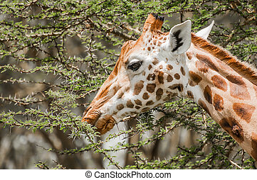 Acacia Leaves for Food - A Masai Giraffe eating leafs from a...