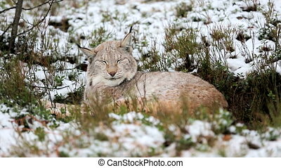 Lynx sleeps in the forest - Cute lynx rests and sleeping in...