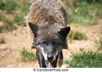 Wolf - Canadian old wolf looking at the camera
