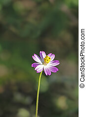 Pink cosmos flower - Cosmos is a genus, with the same common...