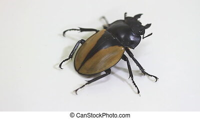 insect, beetle, bug, in genus Odontolabis on white...