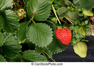 Agriculture-strawberries closeup - Cultivation of...