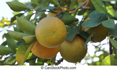 Ripe Oranges in Tree on Sunny Day