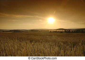Before the harvest - Sun is setting over the field of wheat