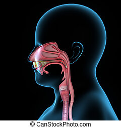 Mouth anatomy - In human anatomy, the mouth is the first...