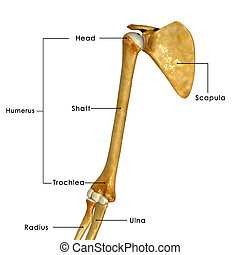 shoulder joint - The human shoulder is made up of three...