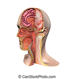 Face intersection - The face is a central organ of sense and...